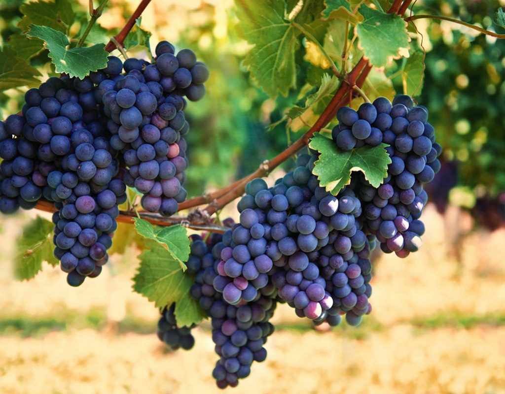 bigstock-Purple-Red-Grapes-With-Green-L-71744524